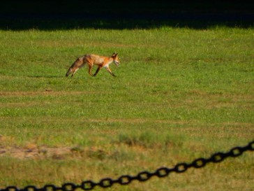 Maddie spied this fox running through her park. She became quiet. We think it's a mom looking for food for her babies.