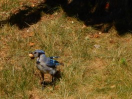 Sometimes, a Blue Jay steals the squirrel's peanut.