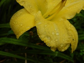 The daylily is fading fast, but I still like this petal with the water drops,