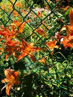 Daylily invasion.