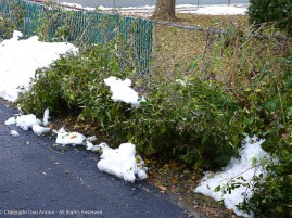 The snow melted quickly, but the damage was already done. The Forsythia was not happy.