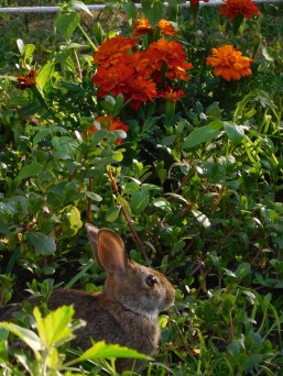 The Editor captured one of the bunnies (last year)