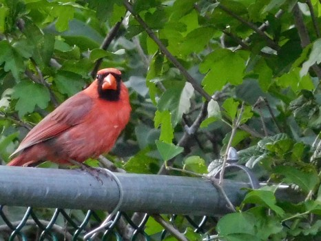 The Editor snagged this Cardinal