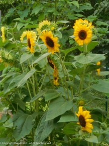 Not many of our sunflowers came up, but the ones that did are very pretty.