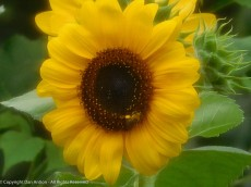 Looks like a bee is checking out the sunflower.