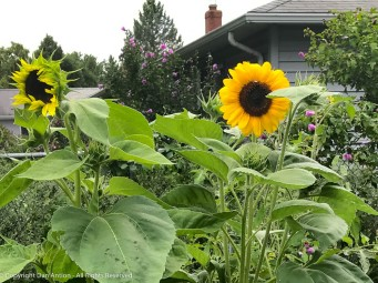 The Editor planted a zillion sunflowers. These two seem to be the only ones that didn't get eaten.""