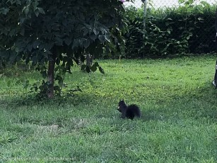 The black squirrel is getting less skittish.