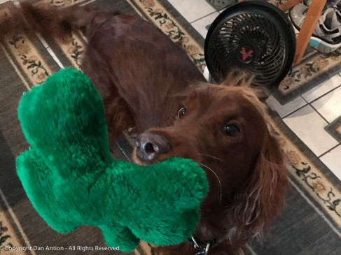 """""""Do you have to work on the roof today?"""" Maddie likes her shamrock. It's one of the toys she inherited from our previous Setters."""