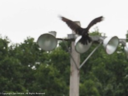 This is the second vulture. It's a little smaller than the first,