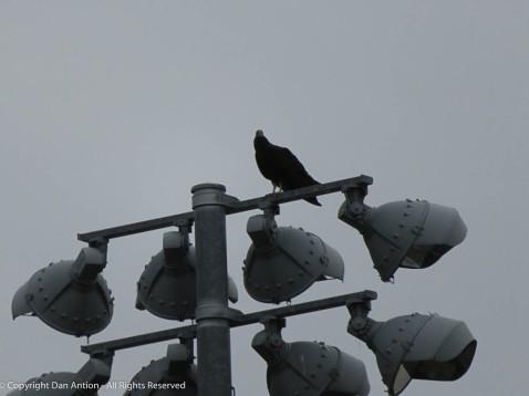 Turkey Vulture on the highest lamp.