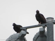 Heckle & Jeckle - our resident Turkey Vultures.