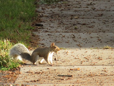 The squirrels are busy gathering food.