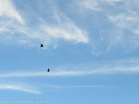 Two crows make a lot of noise. Maddie stopped to take notice.