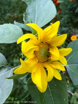 This little rogue sunflower just showed up. It might have been planted by one of the squirrels.