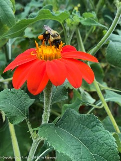 Bee visiting a Tithonia in the garden.