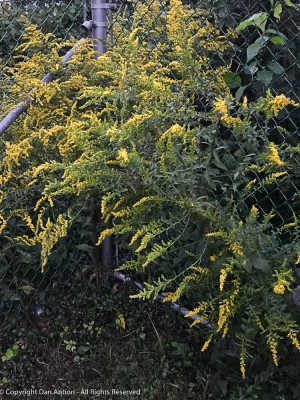 Goldenrod - doesn't bother me (plays havoc with others in the house).