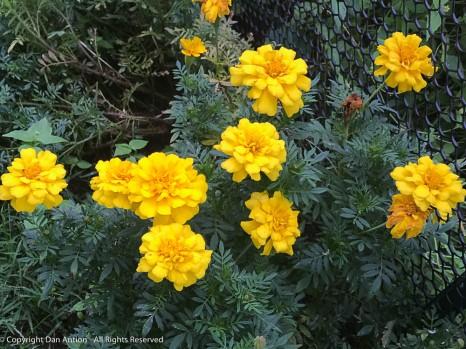 Marigolds bordering the Editor's veggie garden.