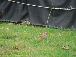 This is the littler of the two bunnies.