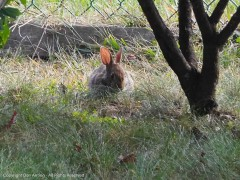 One of the two bunnies calling our yard home for a while.