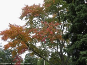 One of the first trees to change color every year.