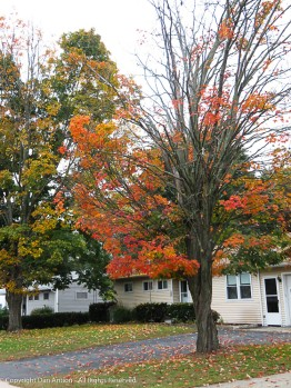 The maple trees seem to be the first ones to change color and lose their leaves.