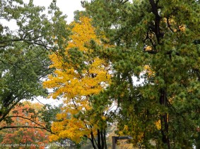 This is the kind of fall we're having. Pockets of bright color in clumps of green.