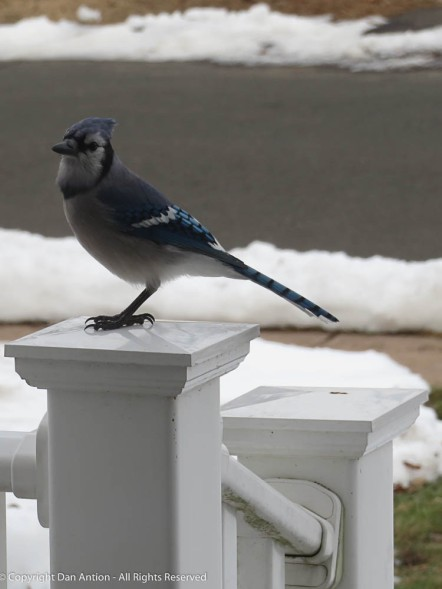 The bluejays try to steal the peanuts from the squirrels.