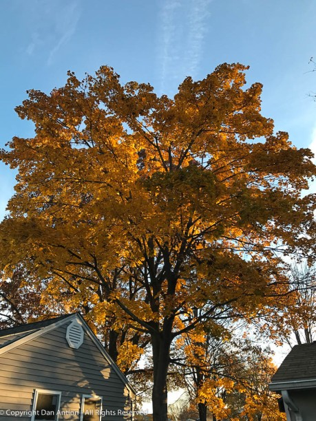 The sun is rising behind the maple tree behind my workshop.