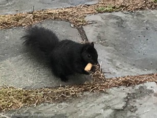 Smokey is about to enjoy a peanut.