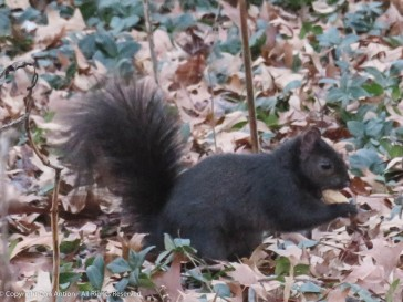 Smokey found a peanut in the leaves and ground cover.