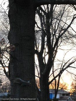 Can you see Smokey? These clowns chase each other all over that tree.
