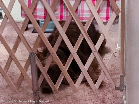 Maddie behind one of the gates that keeps her from bothering the cats.