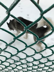 That's Maddie's neighbor, Chinook - He's a Husky and is not bothered at all by the ice.