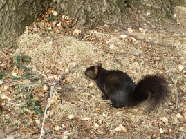 Smokey is foraging through the peanut shells for the peanut I just tossed his way.