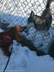 Maddie and Chinook (Maddie's neighbor)