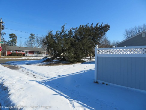 High winds that accompanied a storm in early March tipped this tree.
