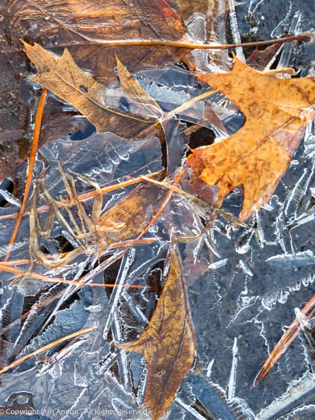 Last year's leaves are breaking free of the ice.