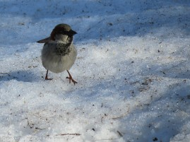 These guys are on the snow because that's where the bird seed was tossed.