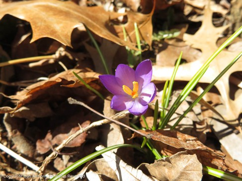 The lone surviving crocus. I love it when this guy pops up.