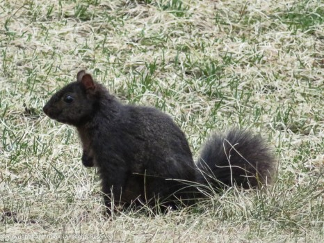 Smokey, in our back yard and trying to avoid foraging for breakfast.