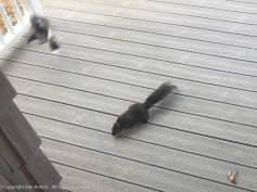 Smokey fends off an attempt by a Blue Jsy to steal his peanut.