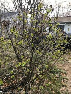 Lilacs are starting to bud.