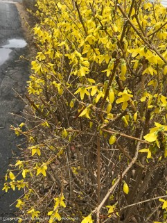 Forsythia are popping out.