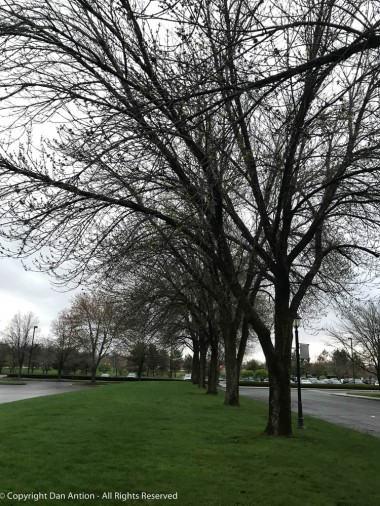 These trees are a little behind their neighbors, but they're budding out, too.