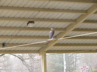 Fake owls and piped in jungle music is being used to try to scare birds out of the pavilion.