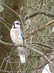 The blue jay is trying to figure out how to get to the peanuts before the squirrels.