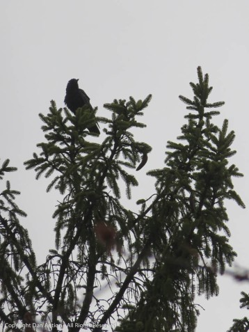 This guy was talking to a crow at the very top of a tree across the street.