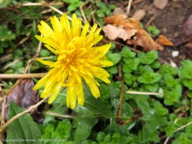 One of the first Dandelions.