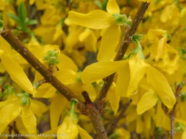 Water drops on the Forsythia.