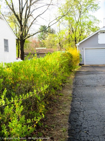 Our forsythia is about to turn completely green.